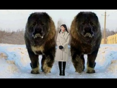 10 Abnormal Große Hunde - Die es wirklich gibt